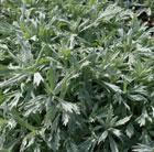 Artemisia ludoviciana 'Valerie Finnis' (Western mugwort)
