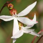 Gillenia trifoliata (bowmans root)