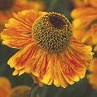 Helenium 'Wyndley' (sneezeweed)