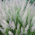 Calamagrostis brachytricha (Korean feather reed grass)