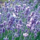 Lavandula angustifolia  Melissa Lilac ('Dow4') (PBR) (lavender)