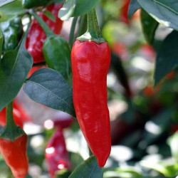 Chilli Apache Plants x3