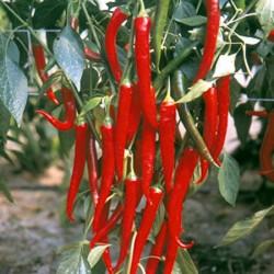 Chilli Fuego Plants x3