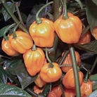 Chilli Scotch Bonnet Plants x3