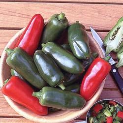 Chilli Giant Jalapeno Plants - x3