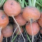Carrot Atlas Seeds