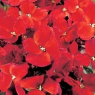 Wallflower Blood Red Seeds