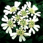 Orlaya White Lace Flower Seeds