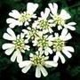 Orlaya White Lace Flower Seeds