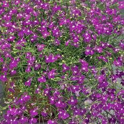 Lobelia Pendula Breezer Rose Seeds (Gro-sure)