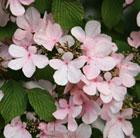 Viburnum plicatum 'Pink Beauty' (Japanese snowball bush)