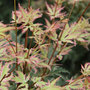 Acer palmatum &#x27;Butterfly&#x27; (Japanese maple)