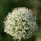 Allium stipitatum 'Mount Everest' (allium)