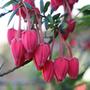 Crinodendron hookerianum (lantern tree)