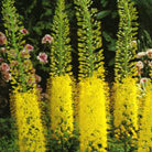 Eremurus stenophyllus (foxtail lily bulbs)