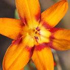 Crocosmia x crocosmiiflora 'Emily Mckenzie' (montbretia bulbs)