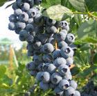 blueberry 'Duke' (blueberry   early fruiting)