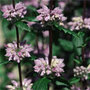 Phlomis tuberosa 'Amazone' (Jerusalem sage)