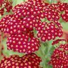 Achillea millefolium 'Red Velvet' (yarrow)