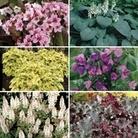 Shady Border Collection 6 Jumbo Ready Plants
