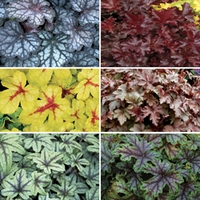 Heuchera Heavenly Collection 6 Jumbo Ready Plants