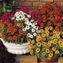 Zinnia Abundance 50 Plants + 20 FREE