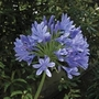 Agapanthus Blue 5 Bulbs