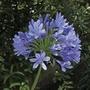 Agapanthus Blue 5 Bulbs