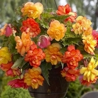 Begonia Gold & Pink 6 Bulbs
