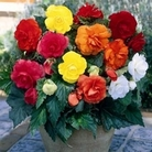 Begonia Mixed 12 Bulbs