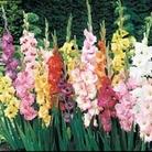 Gladioli 25 Bulbs