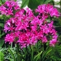 Guernsey Lilies 6 (Nerine Bowdenii) 6 Bulbs
