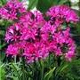 Guernsey Lilies 6 (Nerine Bowdenii) 6 Bulbs