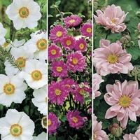 Japanese Anemone Collection 6 Jumbo Ready Plants