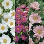 Japanese Anemone Collection 6 Jumbo Ready Plants
