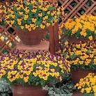 Viola Ochre (Trailing) 50 Plants + 20 FREE