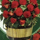 Begonia in a Barrel 3 Bulbs