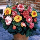 Begonia Picotee Mix 12 Bulbs