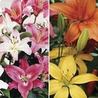 Oriental and Asiatic Lilies 10 Bulbs