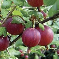 Gooseberries Hinnonmaki (Red) 3 Plants Bare Root