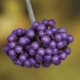 Beauty Berry Profusion 1 Plant