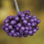 Beauty Berry Profusion 3 Plants 9cm Pot