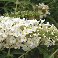 Buddleia White Profusion 1 Plant 9cm Pot
