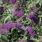 Buddleia Nanho Purple 1 Plant 9cm Pot