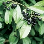 Cherry Laurel (Prunus Laurocerasus) 1 Plant 9cm Pot