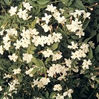 Jasmine (Jasminium Officianale) 3 Plants 9cm Pot