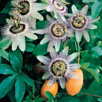 Passionflower (Passiflora Careula) 3 Plants 9cm Pot