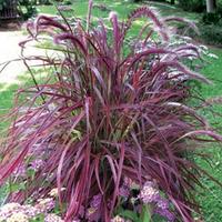 Pennisetum Fireworks 3 Plants 9cm Pot