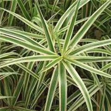 Carex 'Whirling Sparkler'