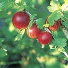 gooseberry 'Hinnonm?ki Rod' (gooseberry)